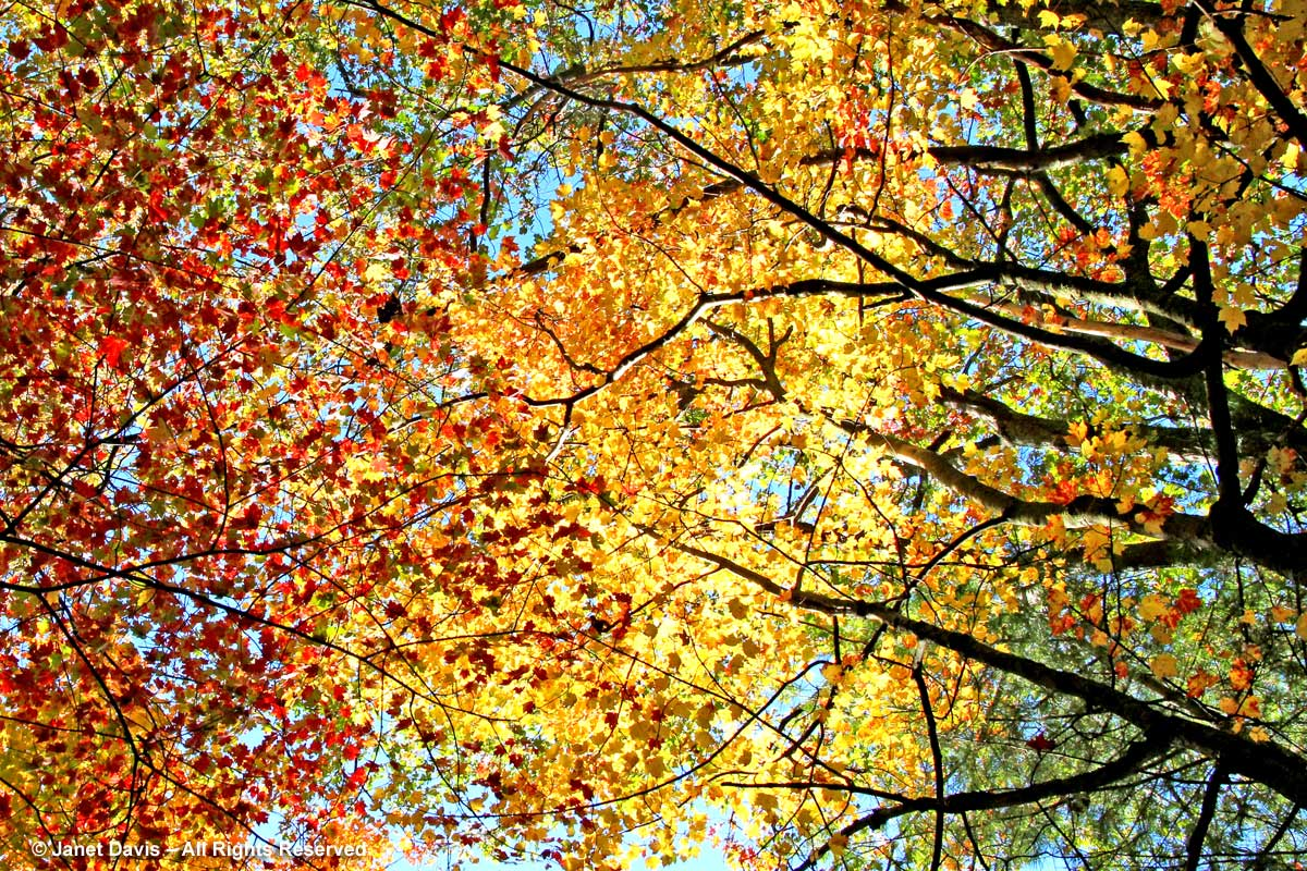 Yellow and red autumn leaf canopy