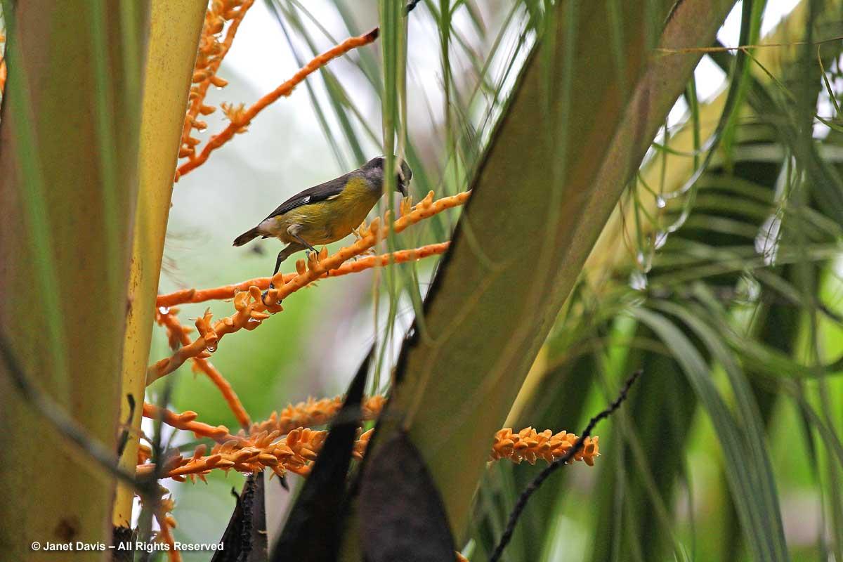Bananaquit on palm tree