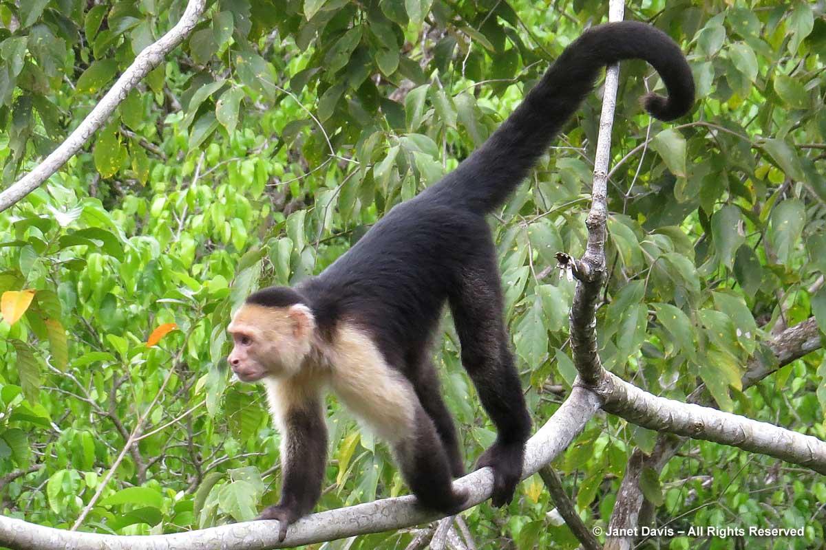 Capuchin monkey-El Remanso