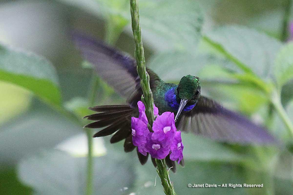 Charming hummingbird on Stachytarpheta frantzii