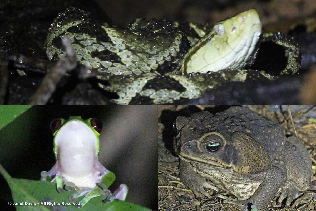 Fer-de-lance viper-Redeyed frog-Cane toad-El Remanso night hike