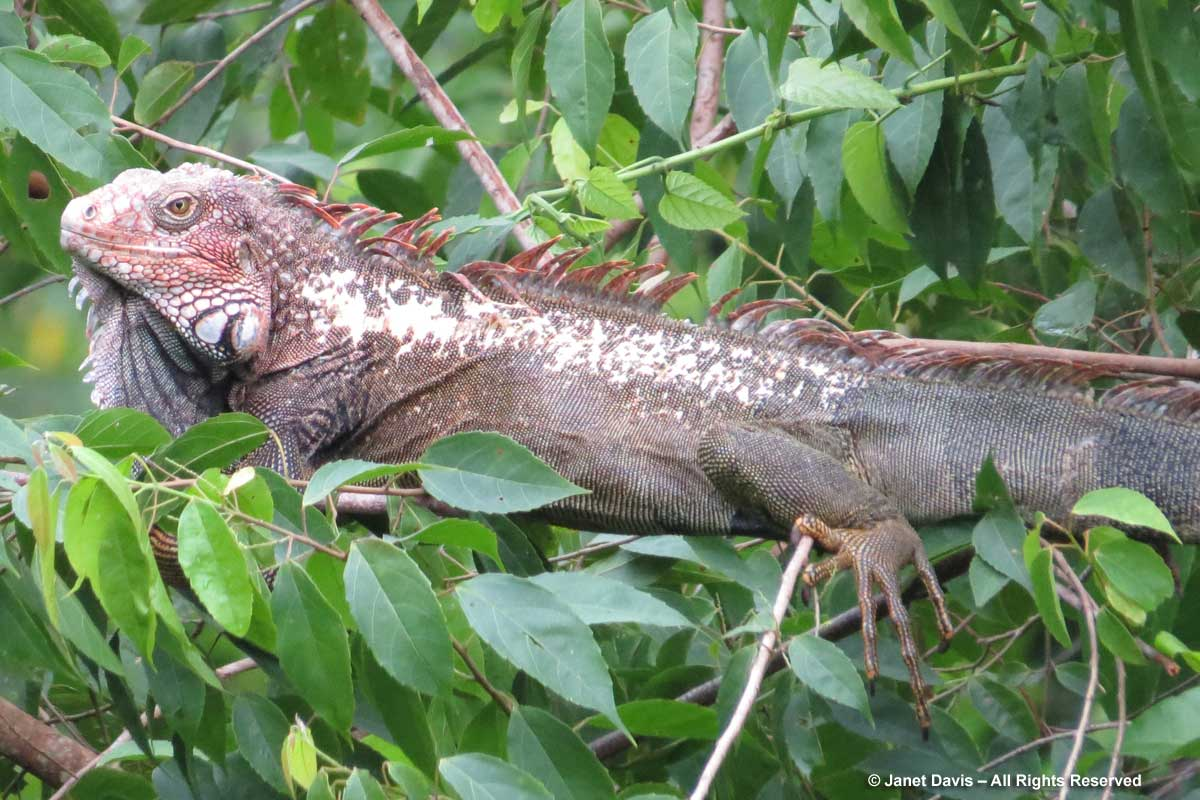 Iguana-El Remanso