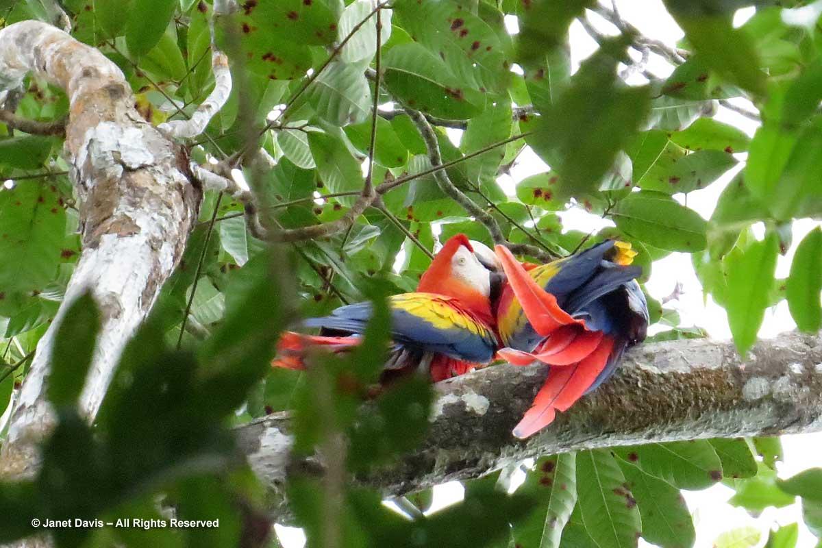 Scarlet macaws-mutual preening