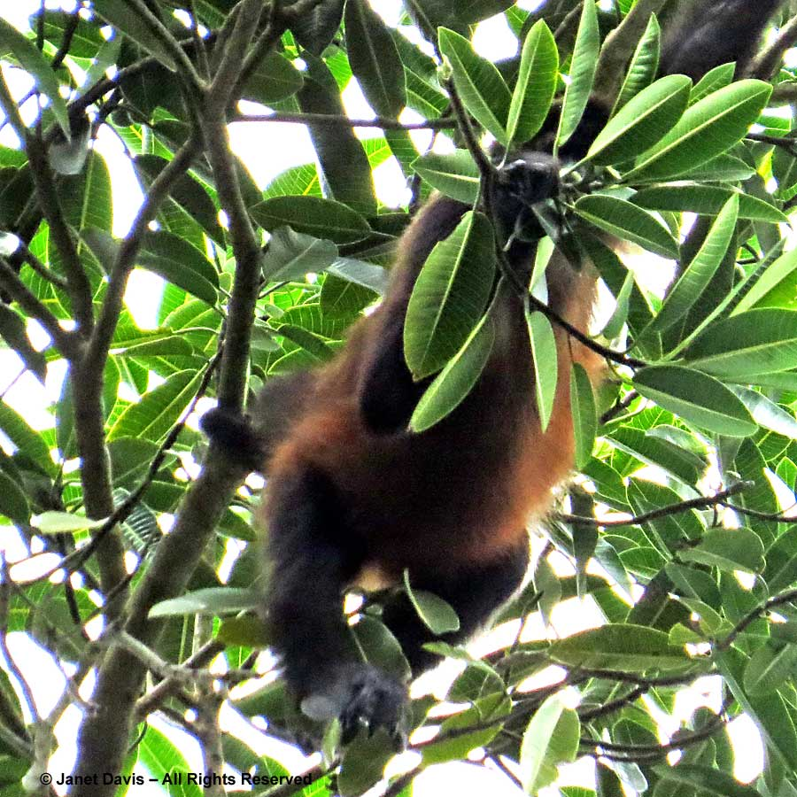 Spider monkey-El Remanso