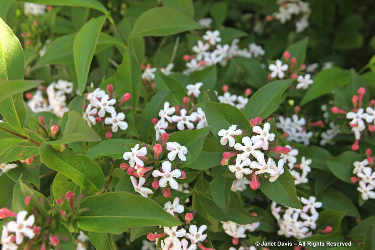 White flowers for sweet perfume janet davis explores colour abelia mosanensis fragrant abelia mightylinksfo