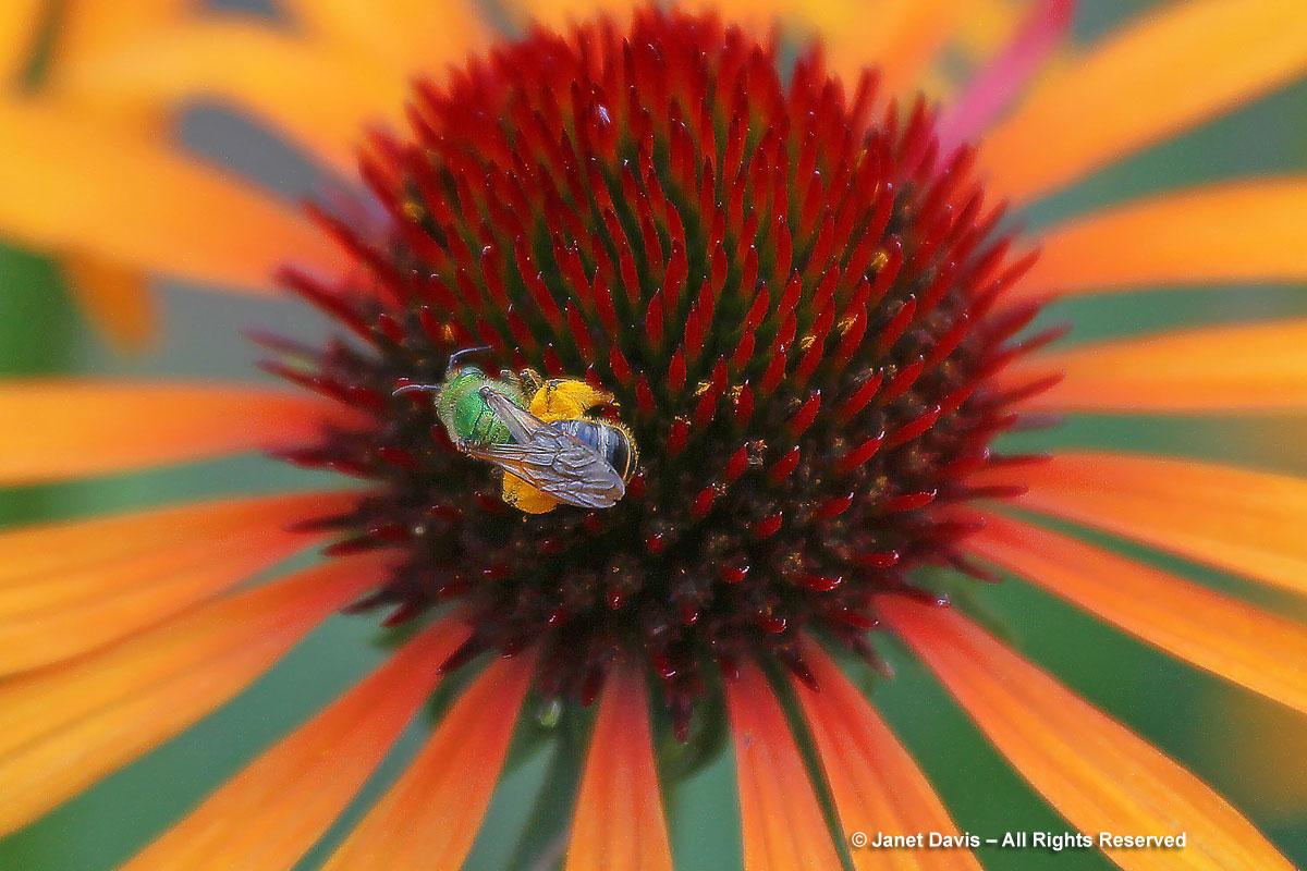 Agapostemon virescens on Echinacea