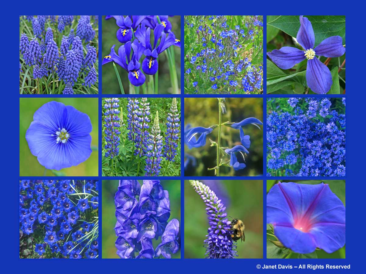 Blue flowers spring color colour bulbs perennials grape blue flowers thepaintboxgarden izmirmasajfo Image collections