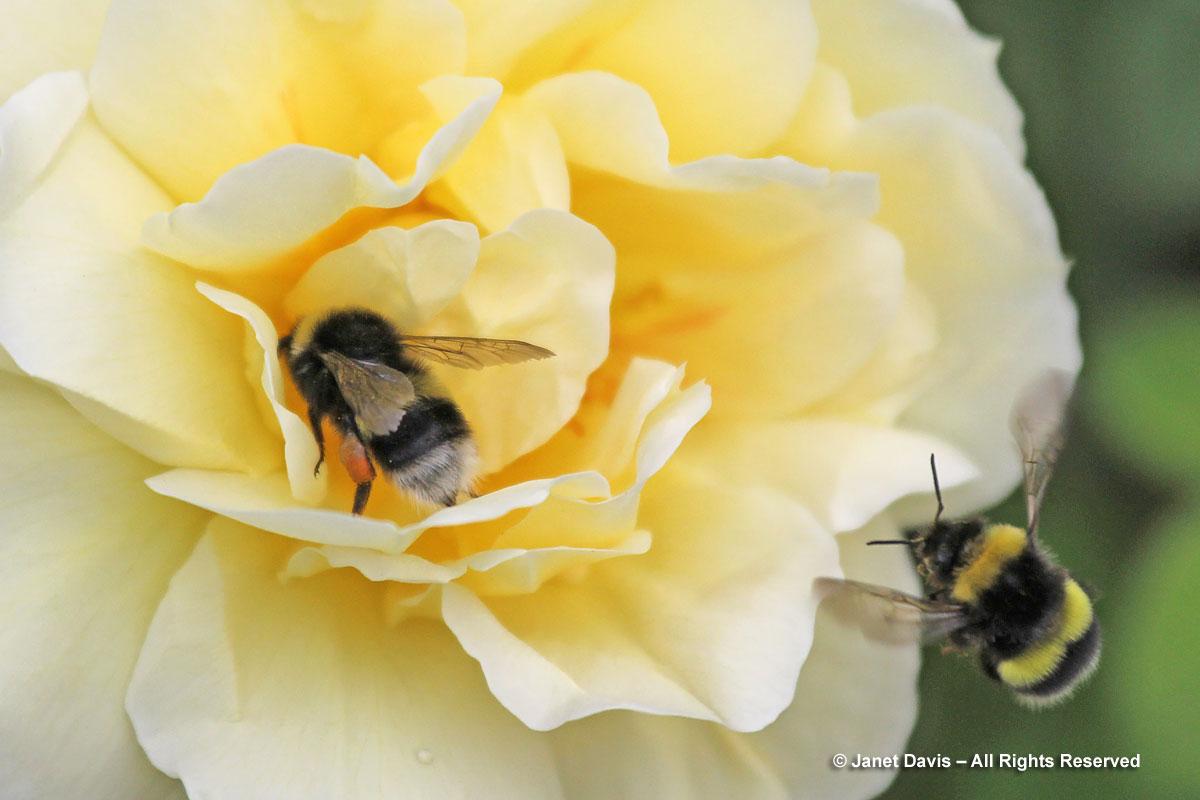 Bombus cryptarum on rose