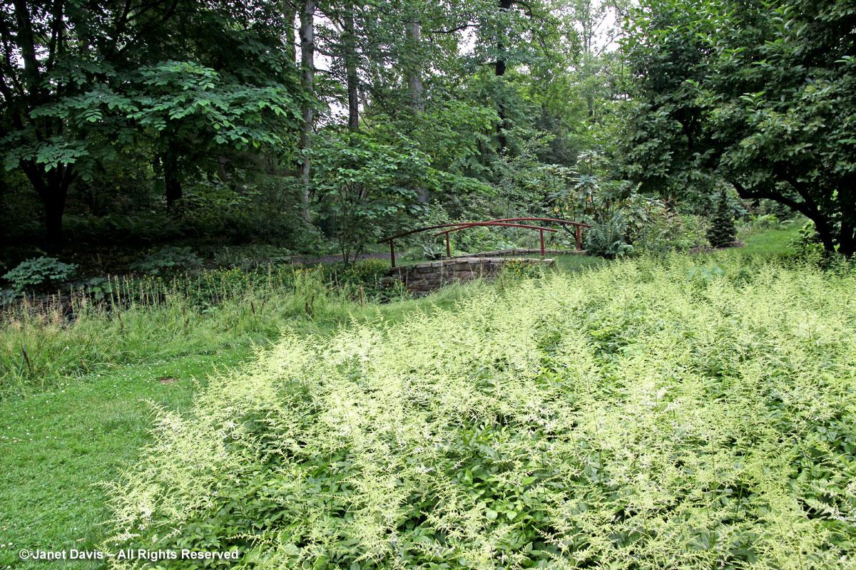 Chanticleer-Astilbe-Bell's Wood
