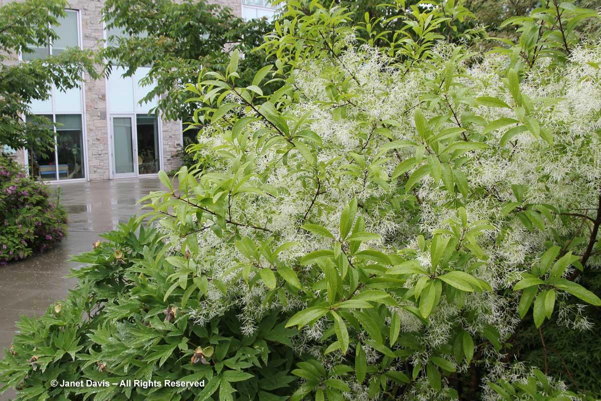 Chionanthus virginicus-Fringe tree1
