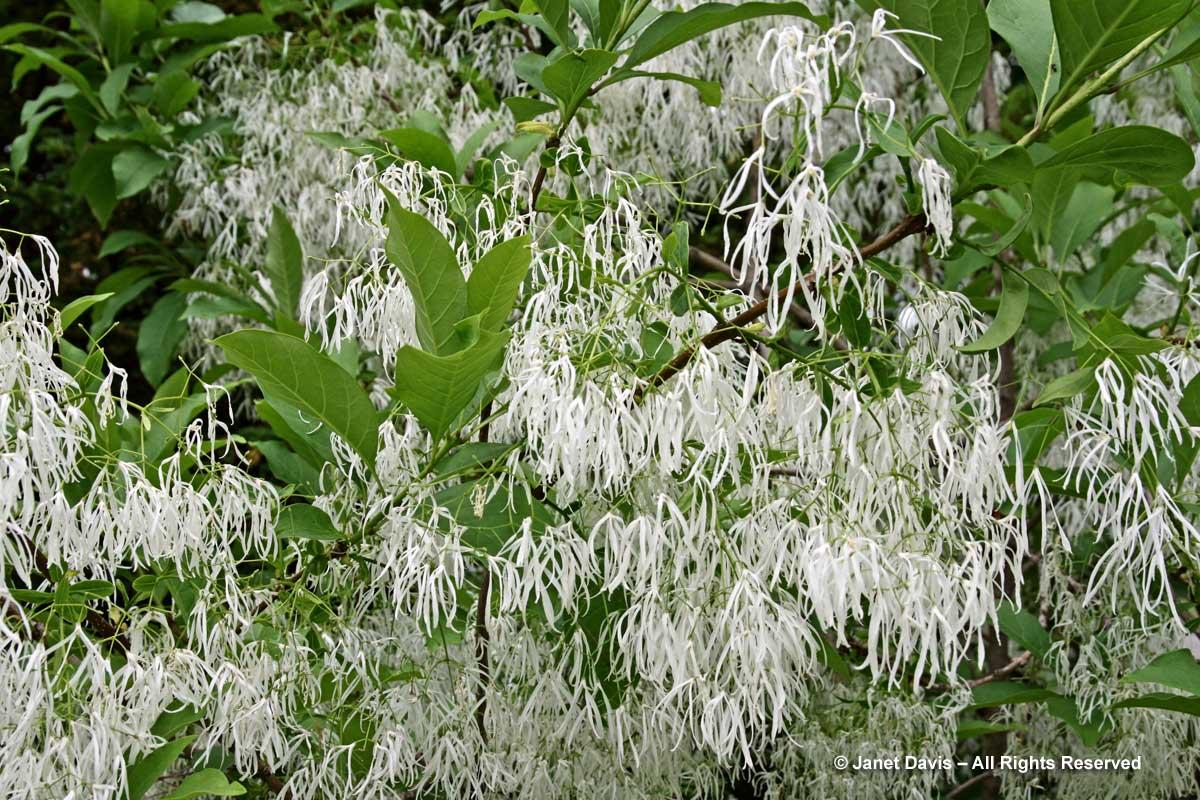 Chionanthus virginicus-Fringe tree2