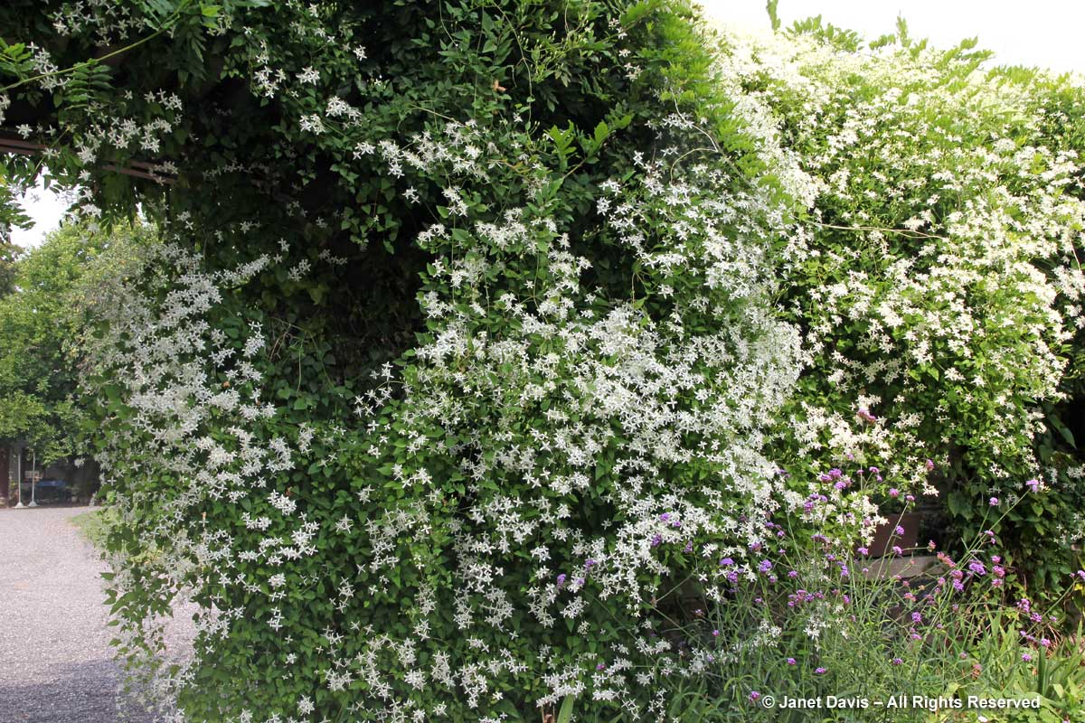 White flowers for sweet perfume janet davis explores colour clematis terniflora sweet autumn clematis mightylinksfo