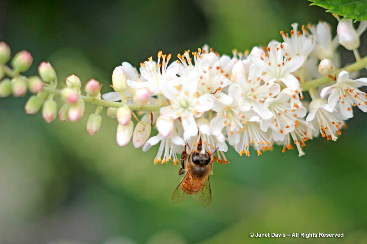 Clethra alnifola with bee