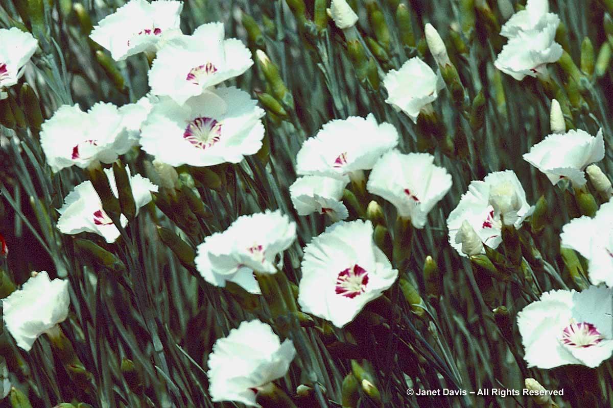 Dianthus gratianopolitanus 'Dottie'