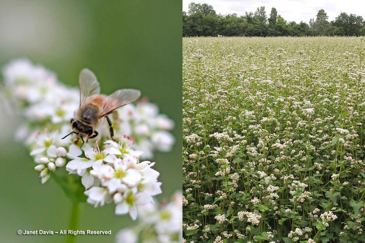 Fagopyrum esculentum-Buckwheat