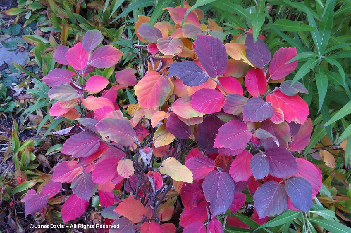 Fothergilla-fall colour