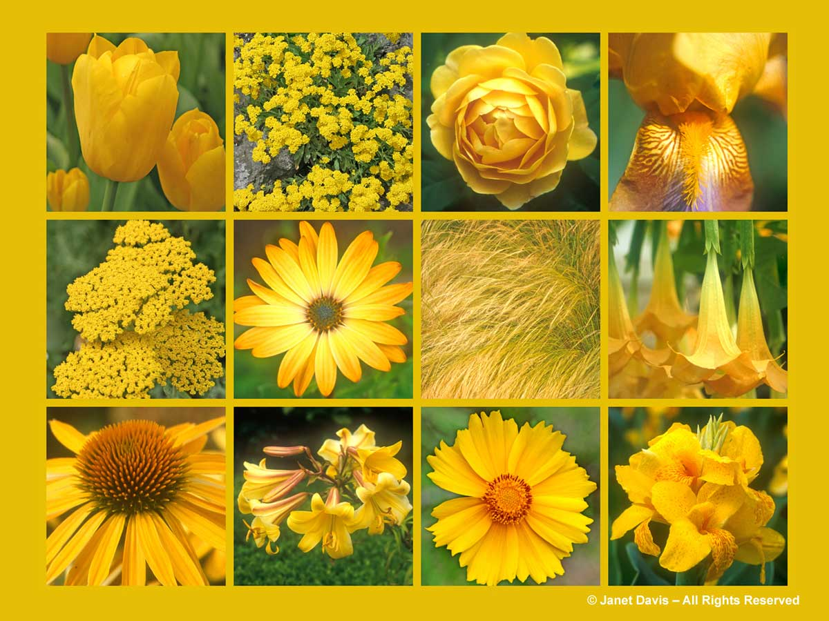 Yellowgold janet davis explores colour gold flowers thepaintboxgarden mightylinksfo