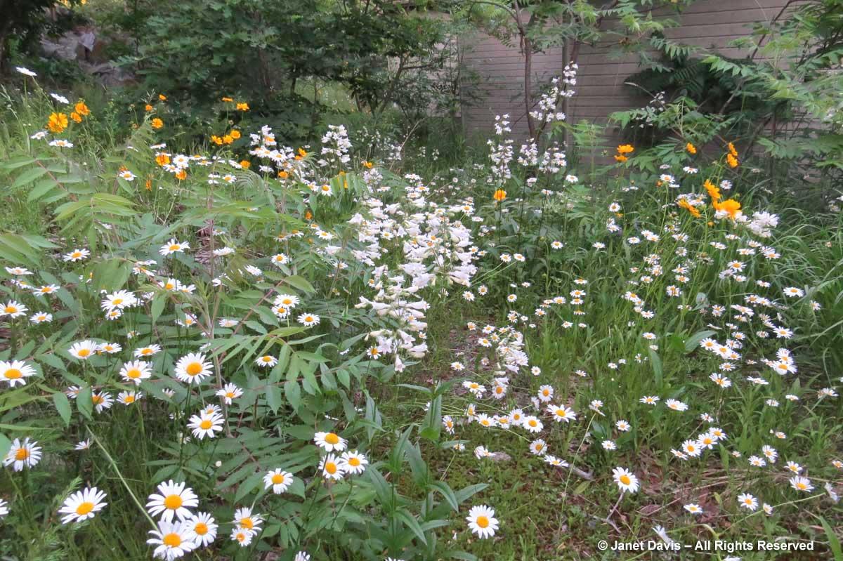 JD-Penstemon digitalis & Oxeye daisies