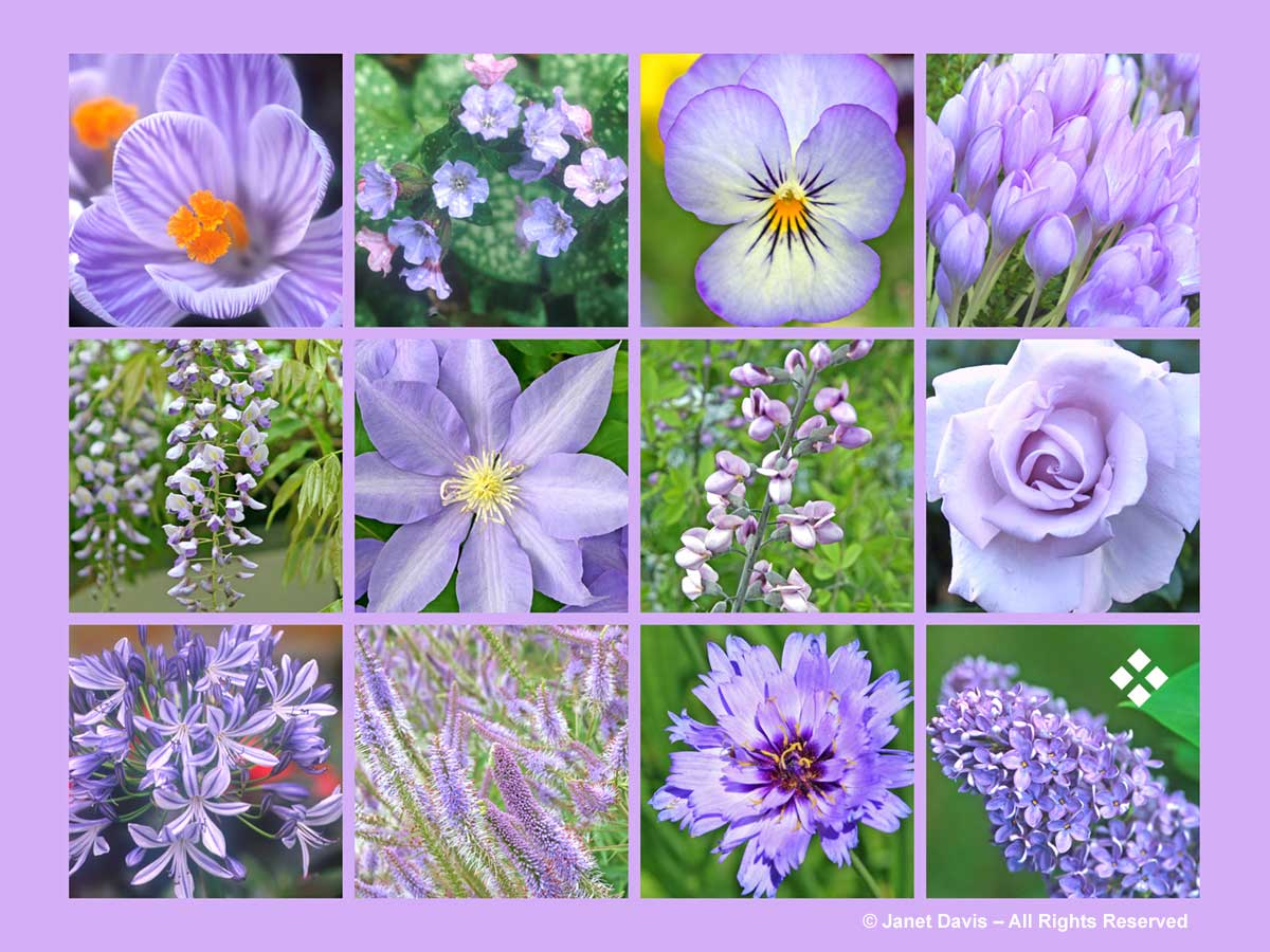 Lilac-Purple Flowers-ThePaintboxGarden