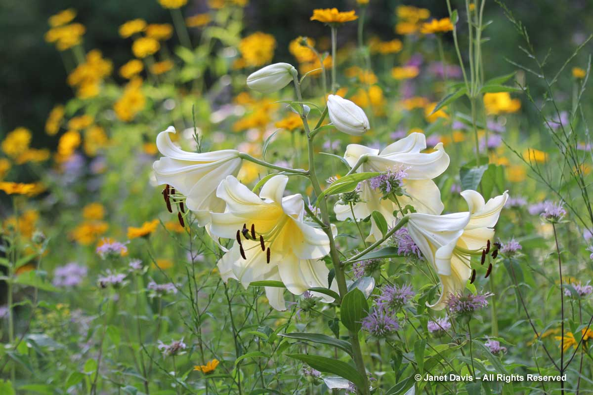 Lilium 'Conca d'Or'-Orienpet Hybrid Lily