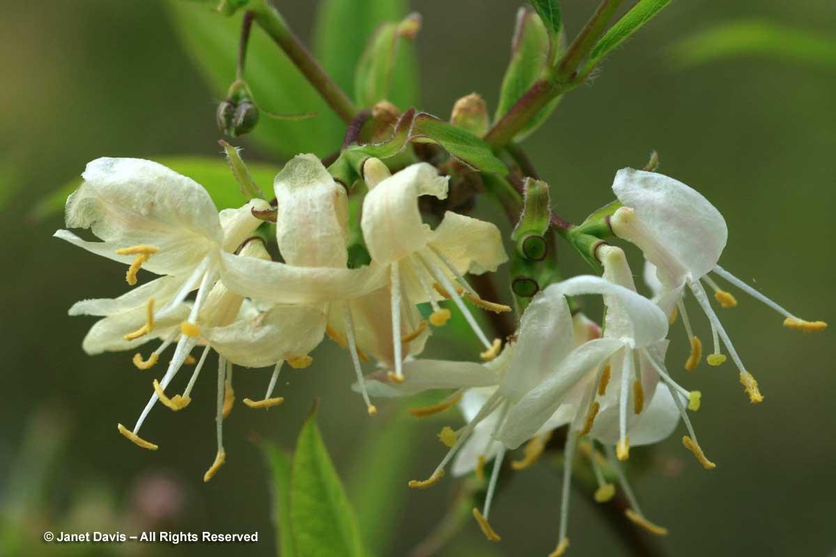 Lonicera fragrantissima2