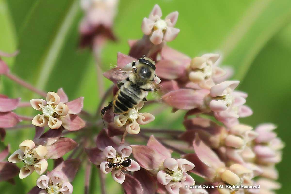 Megachile latimanus on Asclepias syriaca