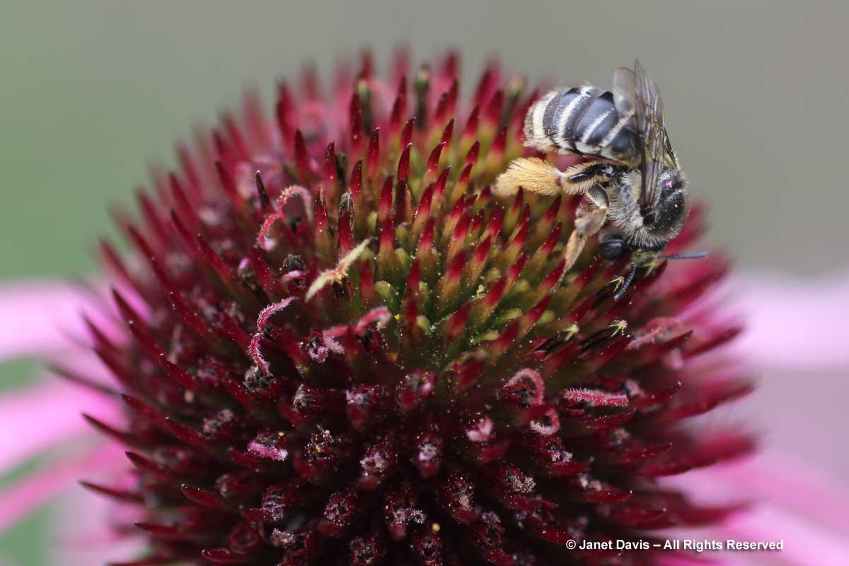 Mellisodes on Echinacea pallida
