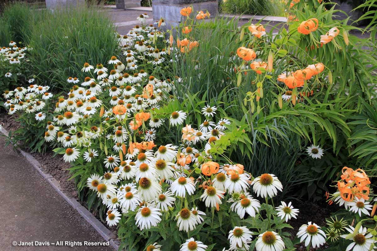 Montreal Botanical-Echinacea 'Primadonna White' & Lilium henryi