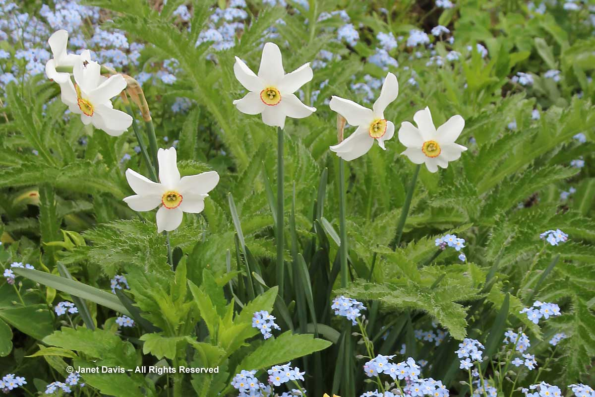 Narcissus poeticus-Poet's daffodil