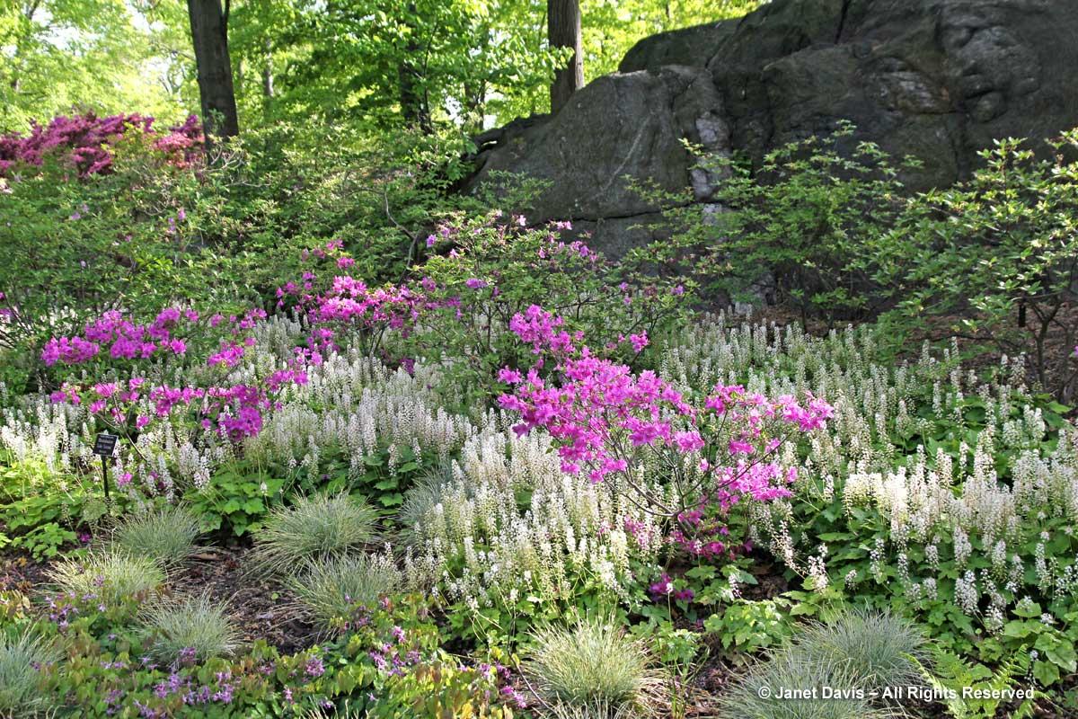 New York Botanical-Tiarella & Rhododendron
