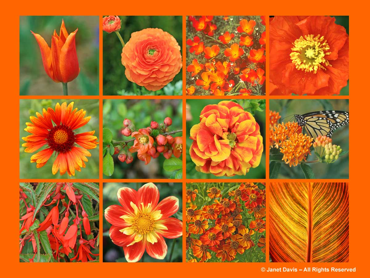 Orange Flowers-ThePaintboxGarden