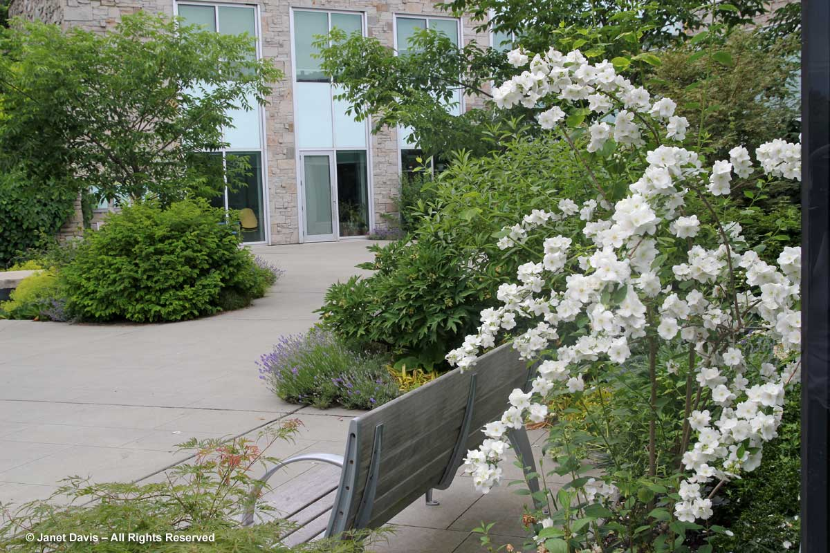 Philadelphus 'Innocence'-Toronto Botanical Garden