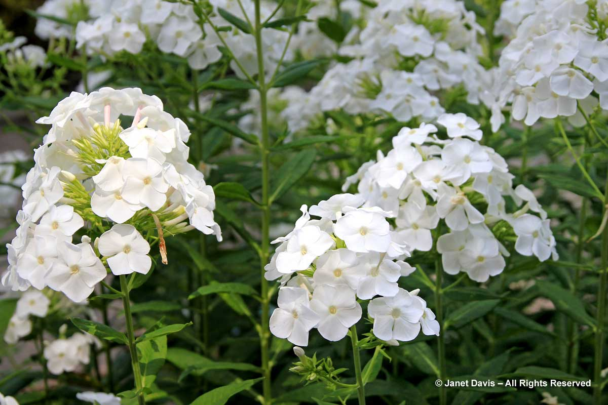 White Flowers For Sweet Perfume Janet Davis Explores Colour
