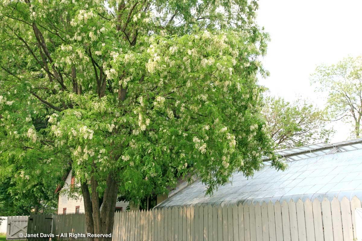 Robinia pseudoacacia-Black locust tree