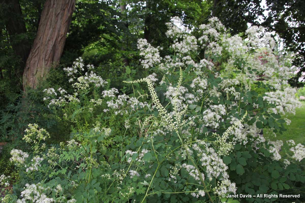 Spadina-Actaea racemosa & Thalictrum