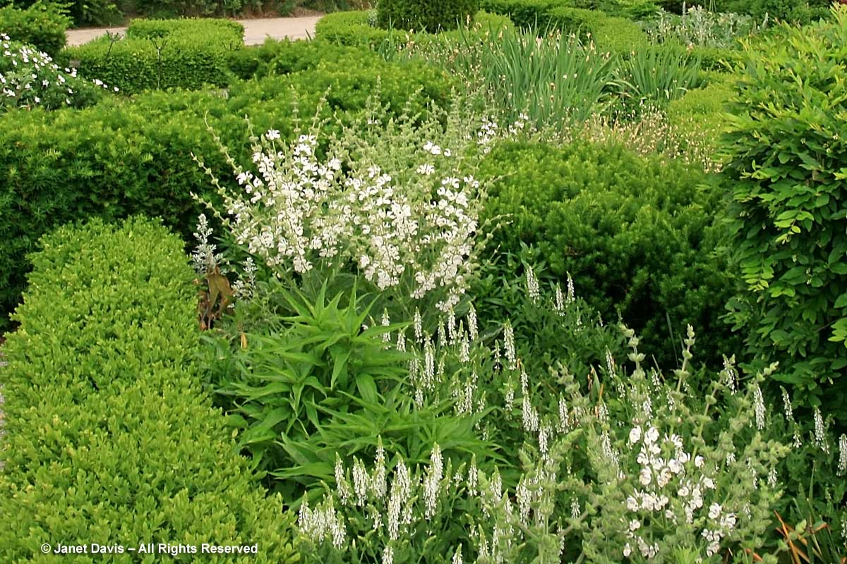TBG-Beryl Ivey Knot Garden-White Sages