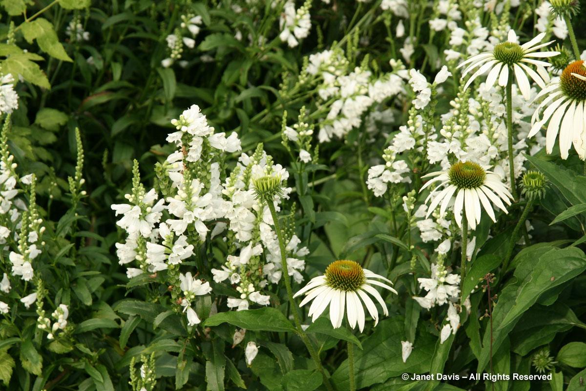 TBG-Beryl Ivey-Physostegia & Echinacea-white flowers
