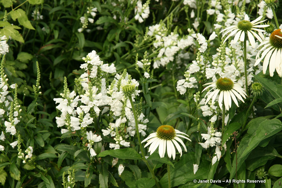 White perennials janet davis explores colour tbg beryl ivey physostegia echinacea white flowers mightylinksfo