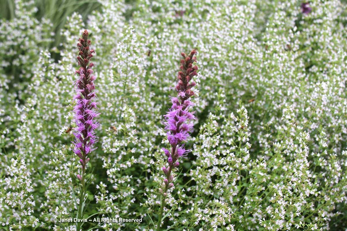 TBG-Liatris spicata & Calamintha nepeta