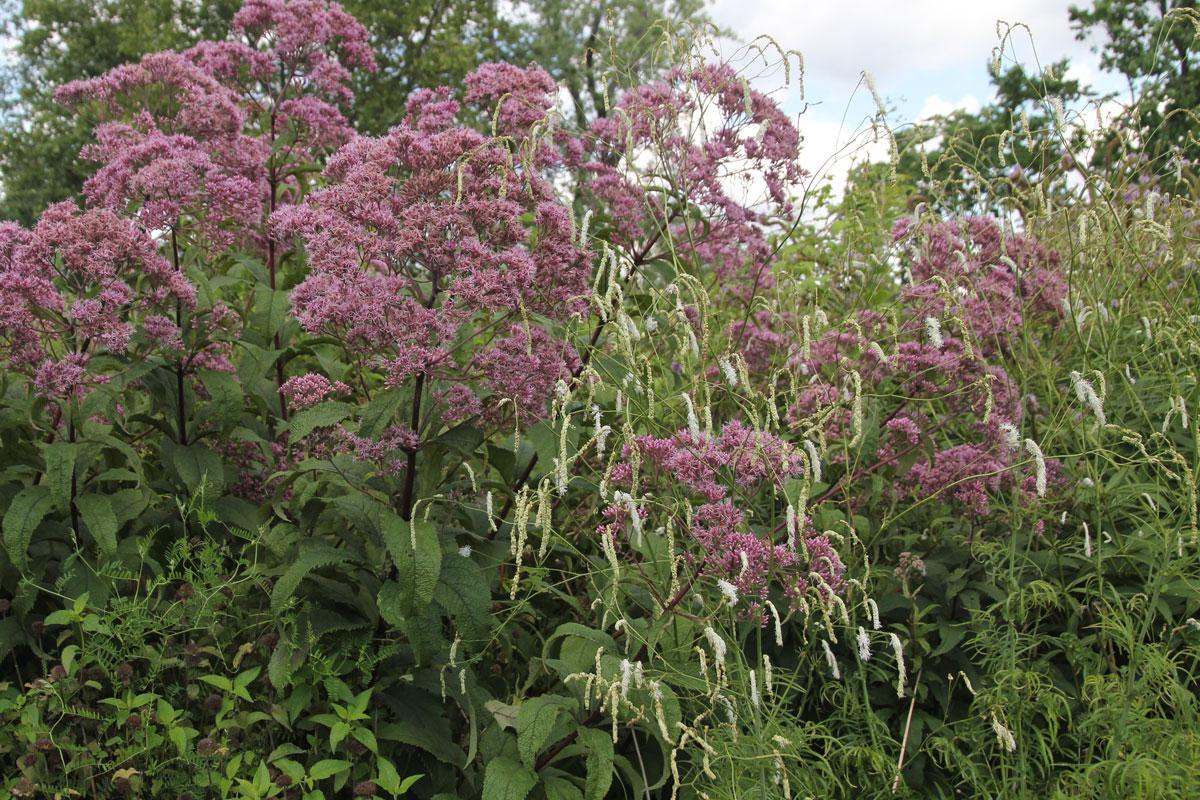 TBG-Sanguisorba tenuifolia 'Alba' & Eupatorium 'Gateway'