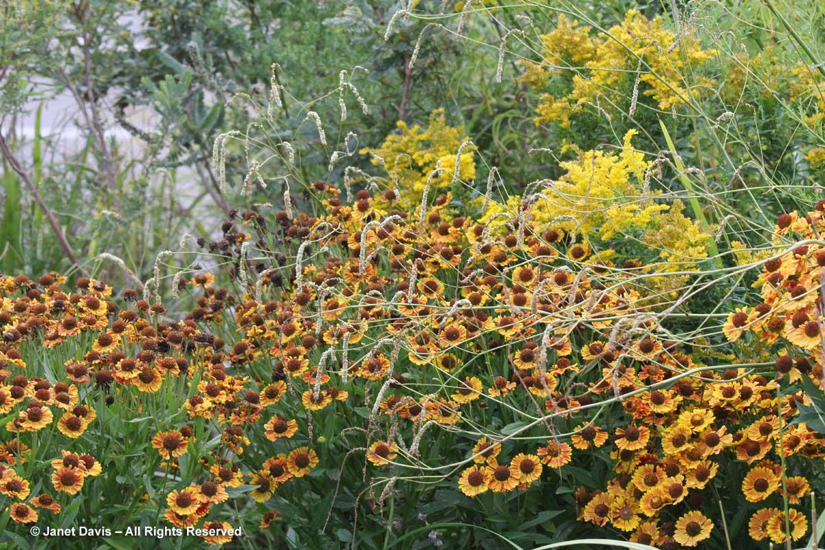 TBG-Sanguisorba tenuifolia 'Alba' & Helenium