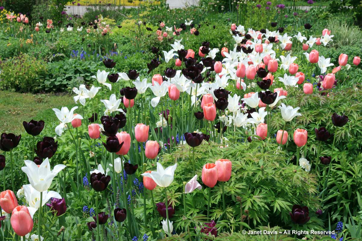 TBG-Spring Bulbs-Tulipa 'White Triumphator'