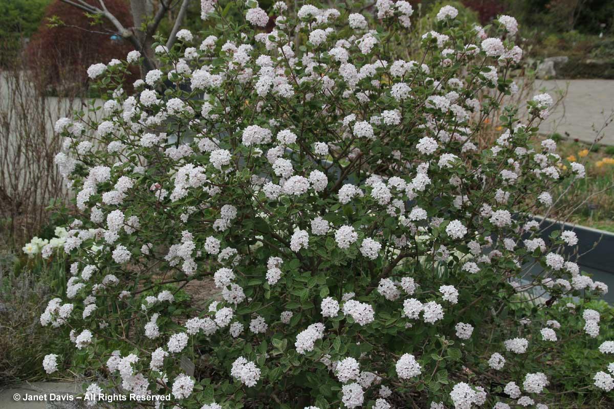 Viburnum carlesii 'Diana'1