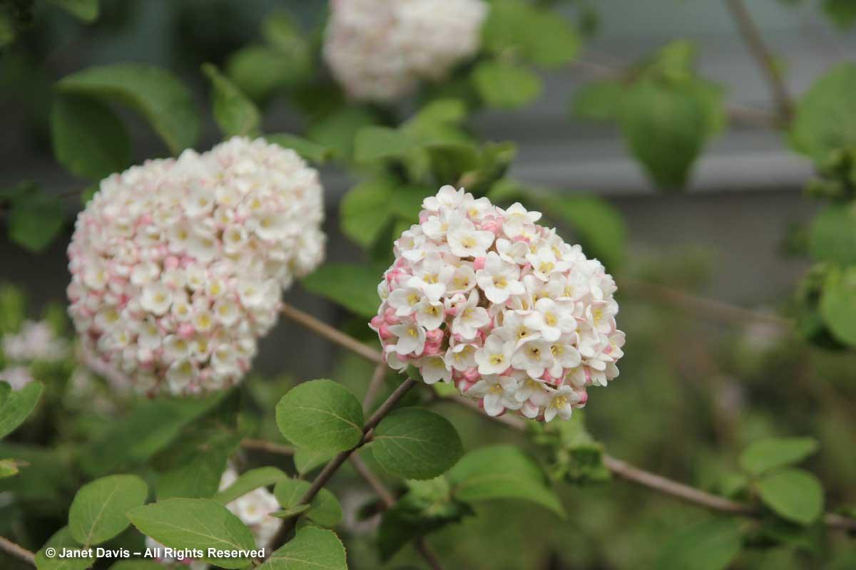 Viburnum carlesii 'Diana'2
