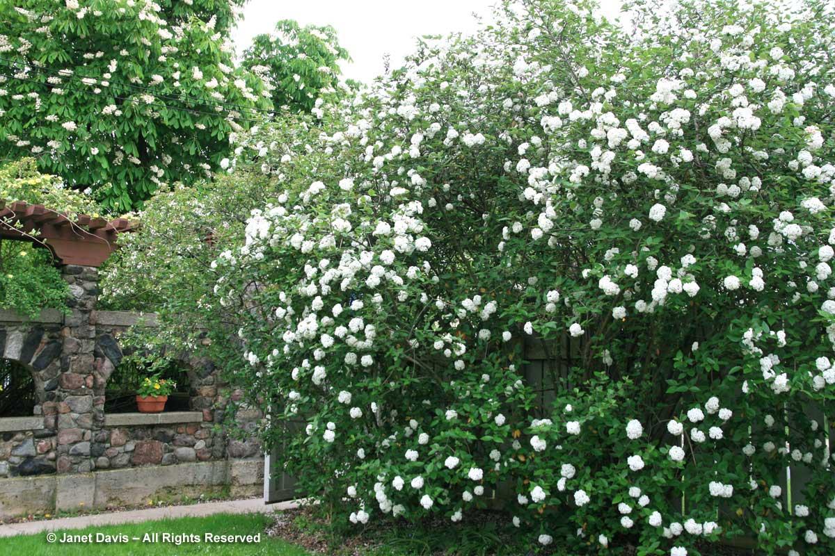 Viburnum x carlcephalum-Spadina House