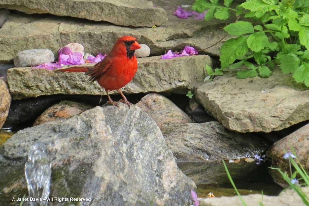 Cardinal in pond-Cardinalis cardinalis