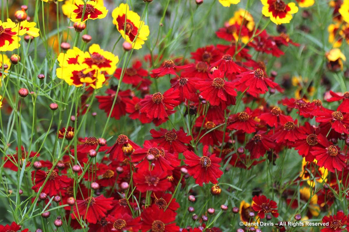 Coreopsis tinctoria 'Dwarf Red'-Plains coreopsis