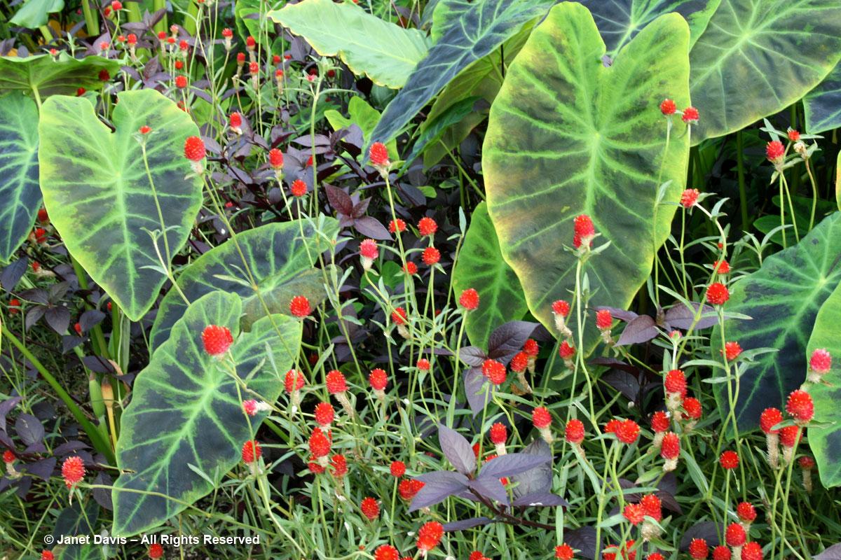 Gomphrena 'Strawberry Fields' & Taro