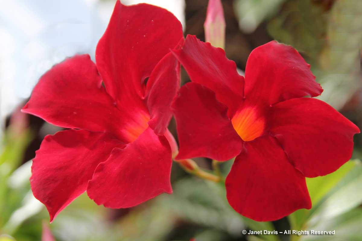 Mandevilla 'Pretty Crimson'