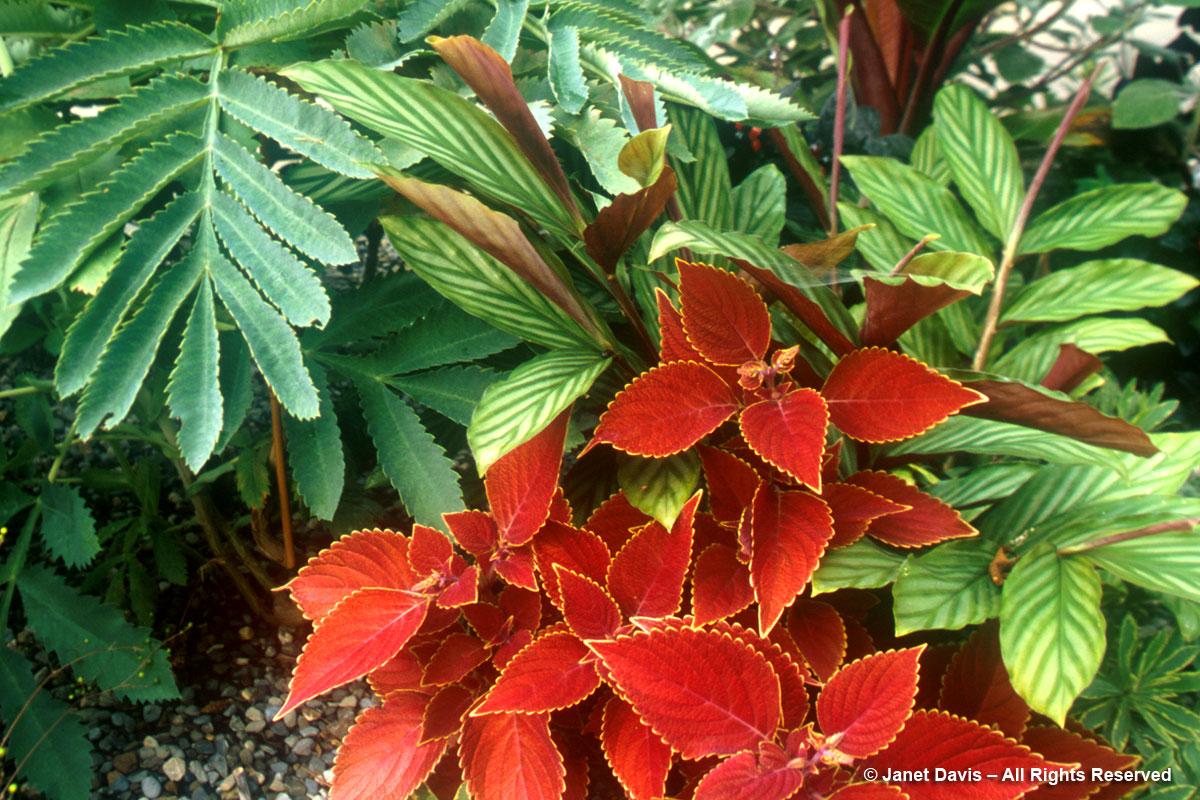 Red coleus & Cerinthe major